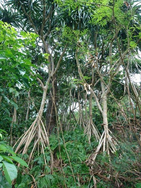 タコノキ林