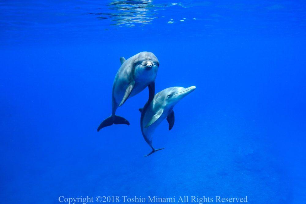野生のイルカと泳ぐドルフィンスイム