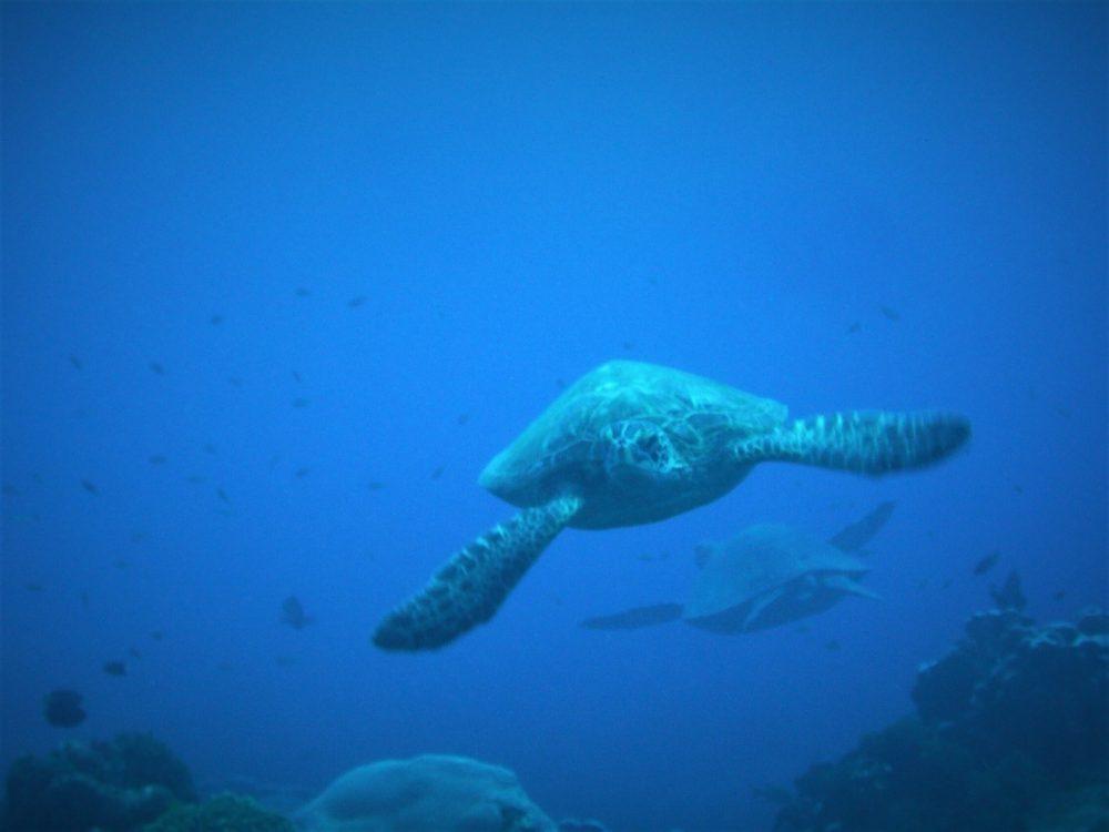 01アオウミガメ