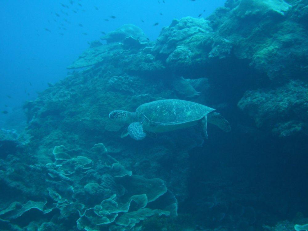 02アオウミガメ