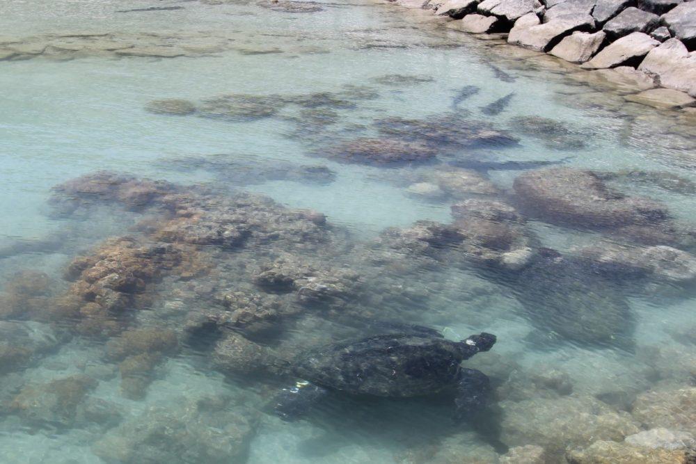 06アオウミガメ