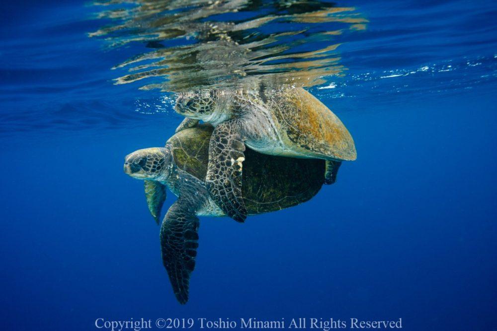 交尾するアオウミガメカップル2