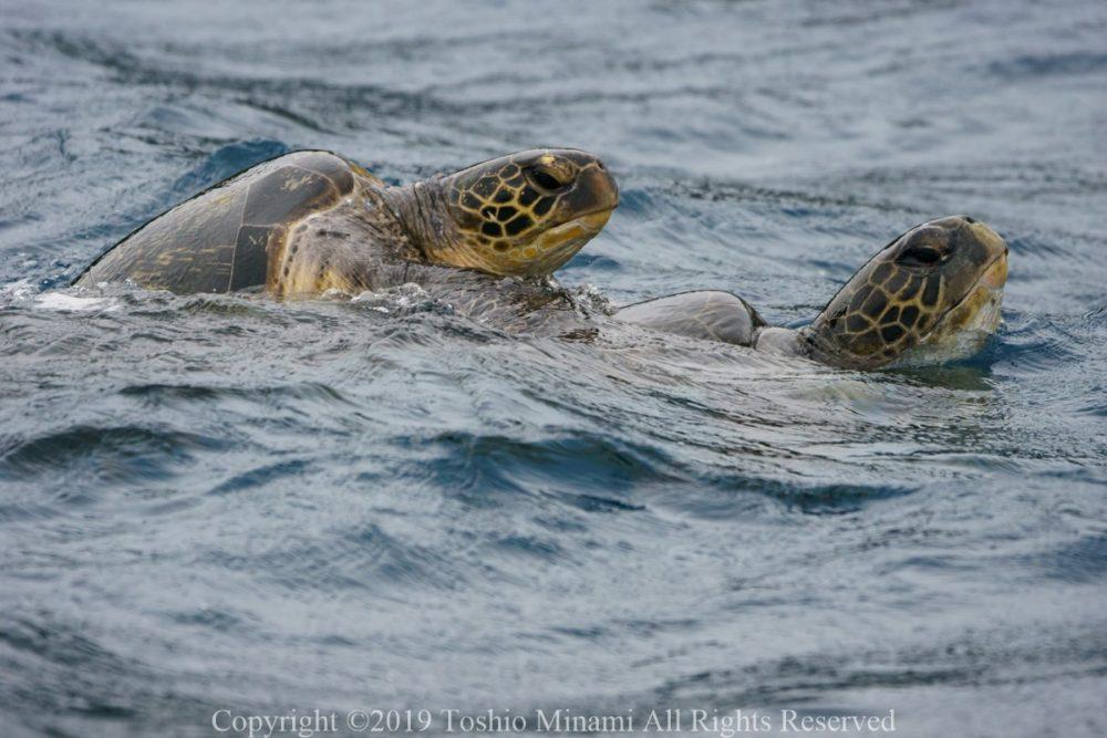 交尾するアオウミガメのカップル1
